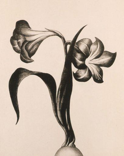 Henrietta Shore – Amaryllis