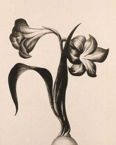 Henrietta Shore - Amaryllis